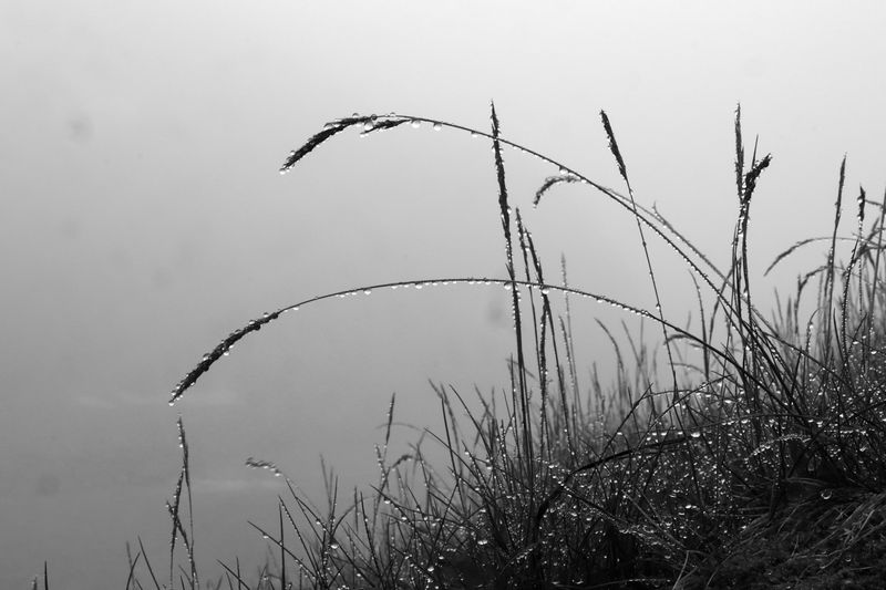 Gouttelettes de pluie suspendues à de grandes herbes ployées, sur fond de rien (brume)